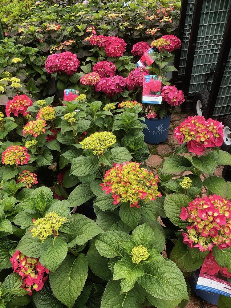 Summer Crush hydrangeas are a customer favorite at Sixteen Acres Garden Center