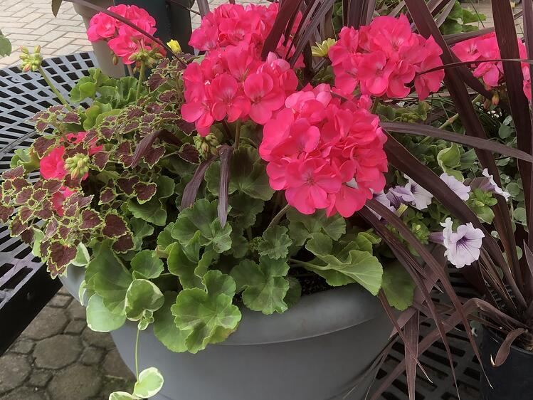 Pink, red and salmon-colored Zonal geraniums at Sixteen Acres Garden Center