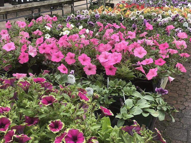 19A wide selection of petunias are available at Sixteen Acres Garden Center in Springfield, MA