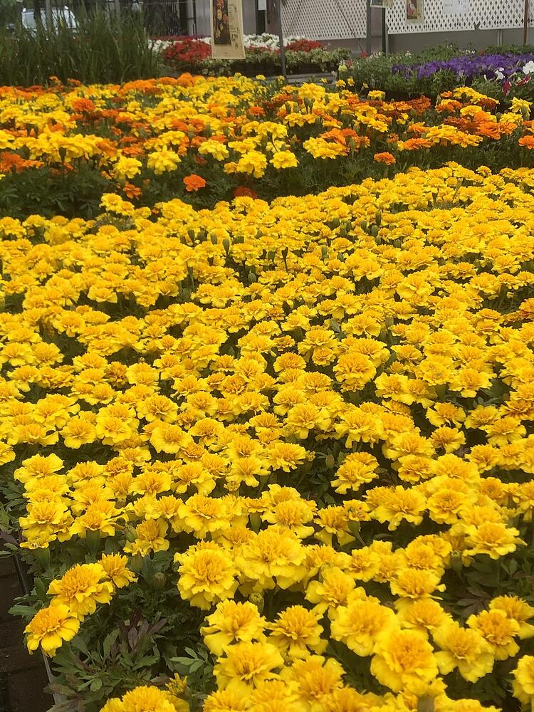 Marigolds create a sea of color at Sixteen Acres Garden Center