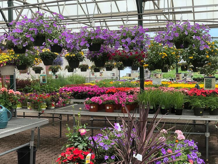A wide selection of petunias are available at Sixteen Acres Garden Center in Springfield, MA