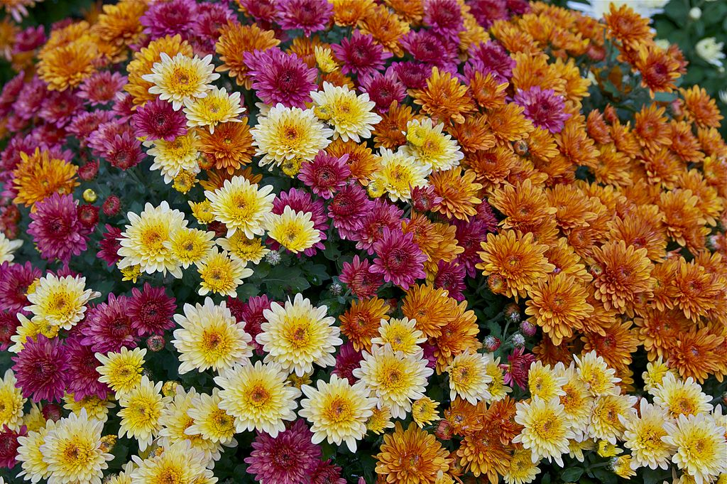 Different colors of chrysanthemums